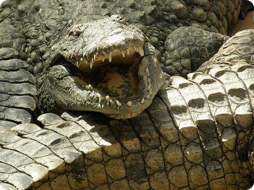 На египетском курорте обнаружили гигантского крокодила
