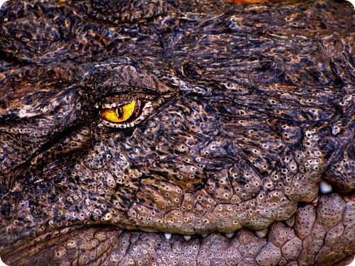 Крокодилы - плохие пловцы, но хорошие серферы