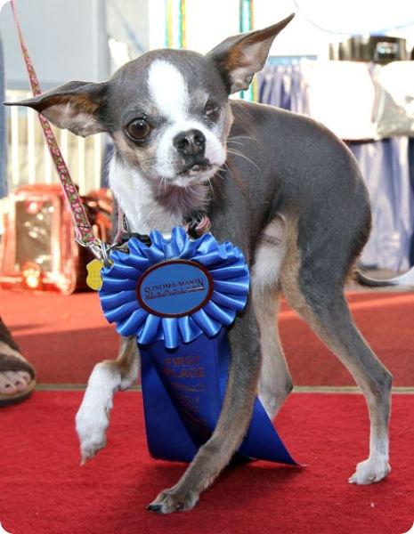 Самая уродливая собака в мире 2010