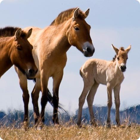 Малыши лошади Пржевальского в зоопарке Калгари