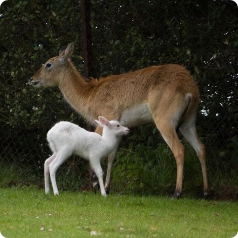 В семье антилоп родилась «белоснежка»