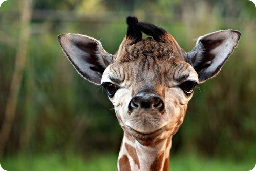 Встречайте жирафенка из зоопарка Перт!