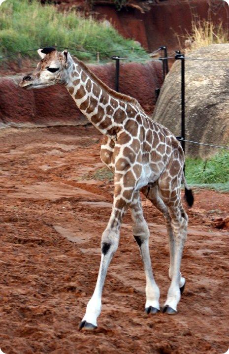 Встречайте жирафенка из зоопарка Перта!