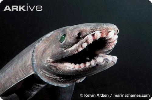Плащеносная акула - Chlamydoselachus anguineus