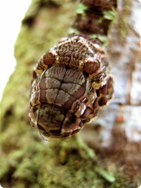 Гусеница змея - Hemeroplanes