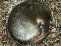 Австралийцы спасли утконоса, искавшего подружку в трубе