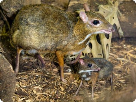 Это не мышь и не олень, это мышиный олень!