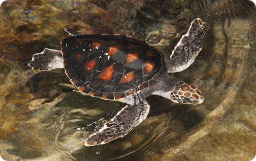 Морские черепашки размером с блюдце