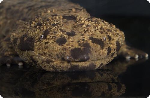Посол и саламандра
