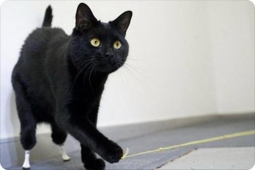 Биопротезы для кота