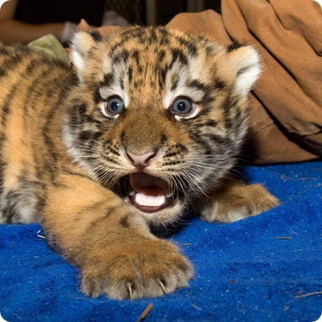 В зоопарке Денвера родились тигрята!