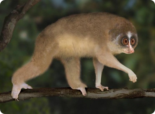 nycticeboides