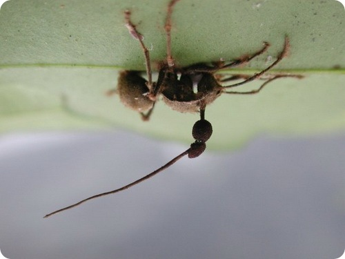 Гипно-грибы делают из муравьев зомби