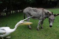 Осел и пеликан