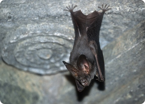 Летучие мыши-вампиры атаковали жителей Перу