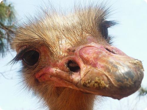 Страус, фото страуса