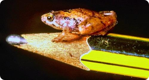 Найдена самая маленькая лягушка в мире