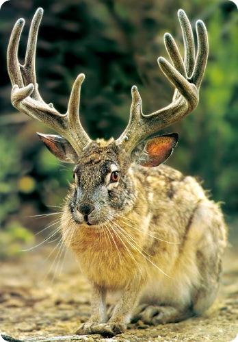Зайцелоп - Рогатый заяц