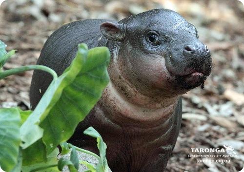 Кимбири – мини бегемотик из зоопарка Таронга