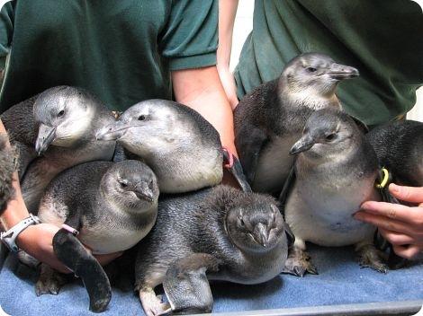 Дадим имена маленьким пингвинам вместе?