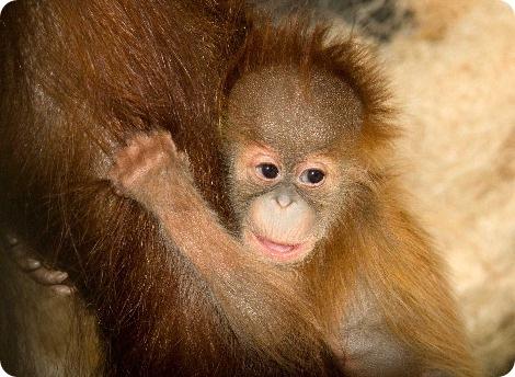 Большой дебют маленькой обезьянки