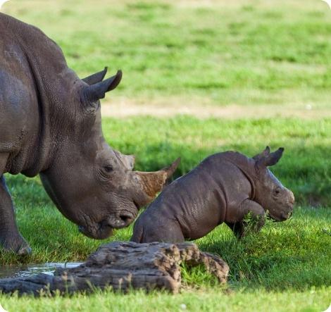 Пять крошечных носорожков за шесть долгих лет