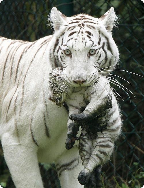 Снежные тигрята выходят на первую прогулку