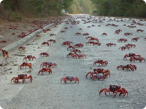 Объяснена миграция красных крабов