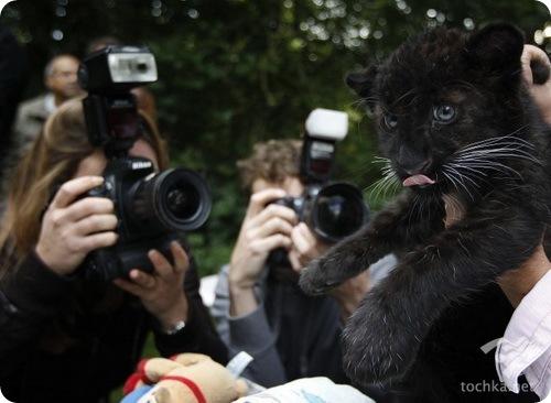 Детеныш черного леопарда подружился с кроликом