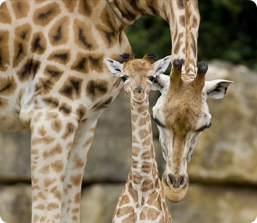 Вы жирафа не видали?