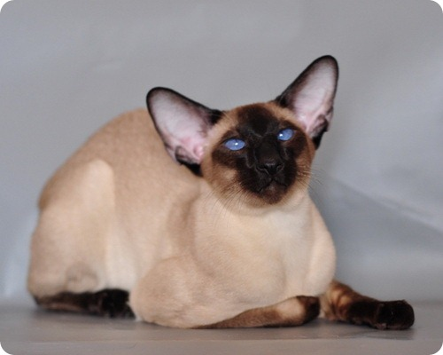 Сиамская кошка фотографии сиамской
