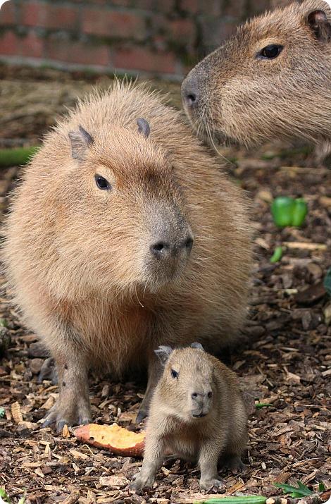 В зоопарке Пейнтон родился самый большой грызун в мире!