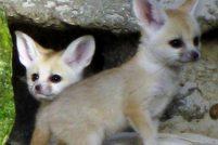 Рыжие ушастики в зоопарке Восточного Эссекса