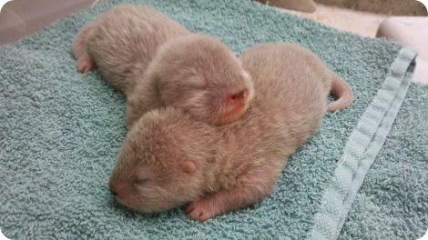 Отличные новости из зоопарка Санта-Барбары