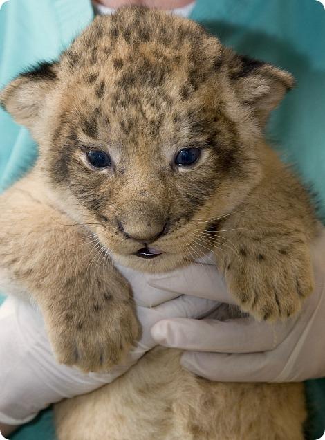 Львиный беби-бум