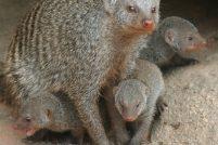 Мангусты в зоопарке Форт-Уэйн