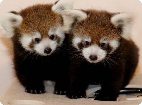 Пушистые неваляшки в зоопарке Ассинибойн