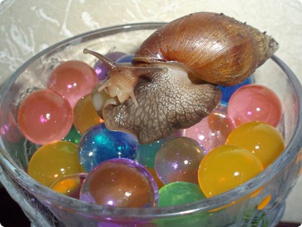 Размножение яйцекладущих Ахатин.