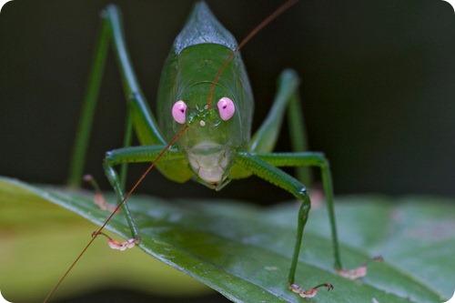 Кузнечик с розовыми глазами