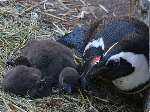 Новорожденные птенцы пингвинов возвращаются в семью