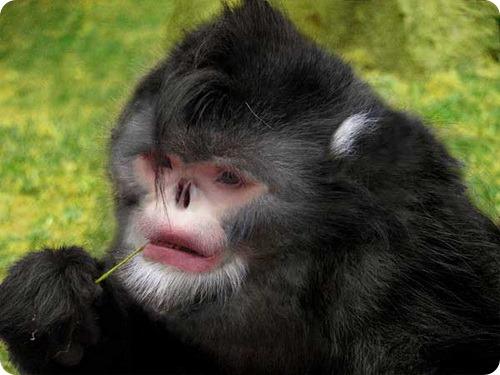 Картинки по запросу Курносые обезьяны, чихающие во время дождя