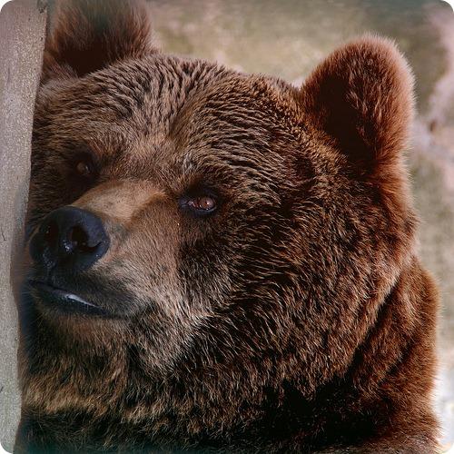 Медведь-предсказатель снова не угадал победителя