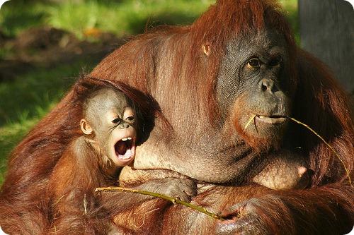 Орангутанг Ваттана и восьмимесячный сынишка
