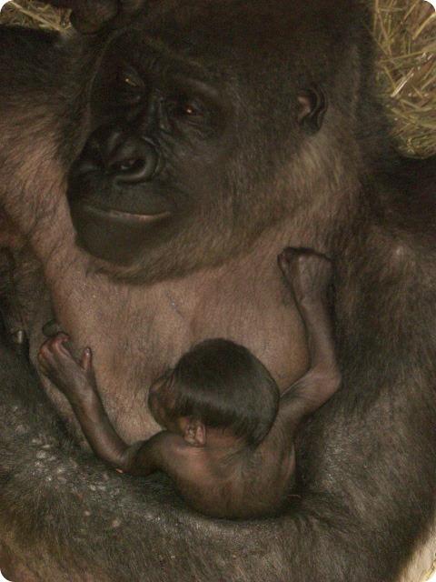 Чудо-обезьянка в зоопарке Буффало