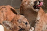 Котята пумы ищут дом!
