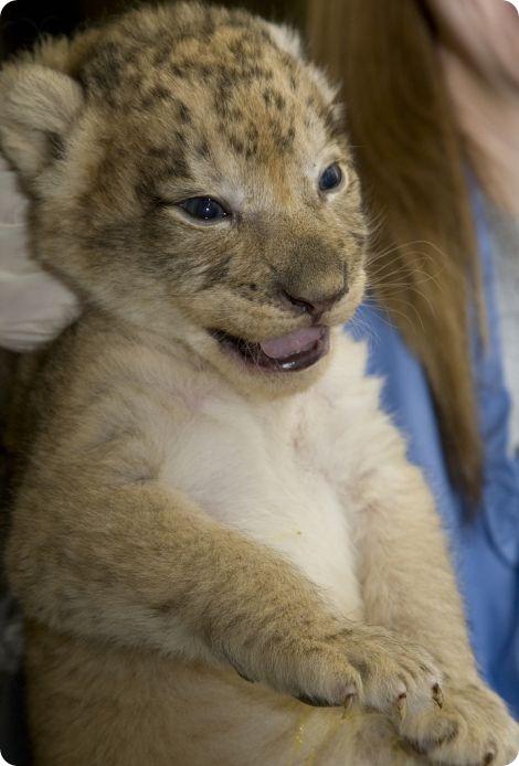 Второй помет львят в Смитсоновском зоопарке