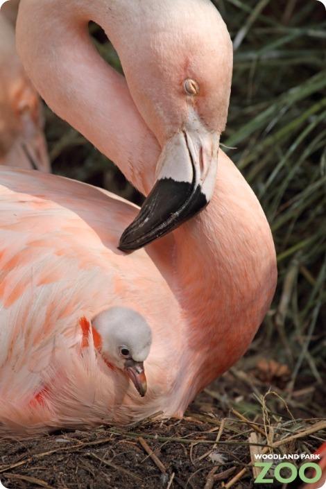 Серые комочки розового фламинго