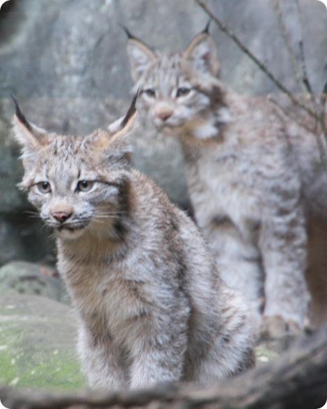 Маленькие рыси в зоопарке Миннесоты