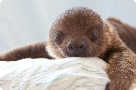 Посмотрите на очаровательных косолапых ленивцев