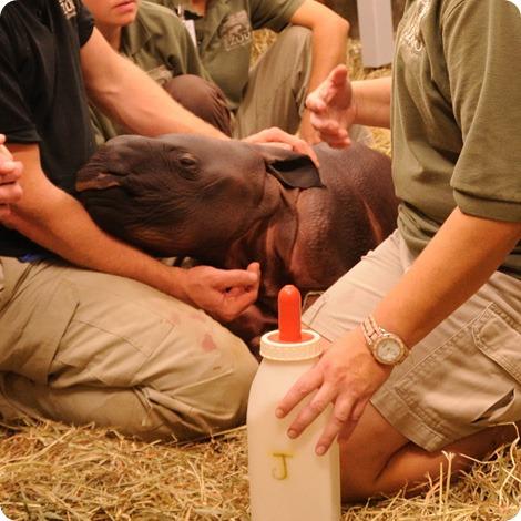 Поддержим маленького носорожика из Цинциннати